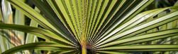 Właściwości lecznicze palmy sabałowej i jej związek z łysieniem